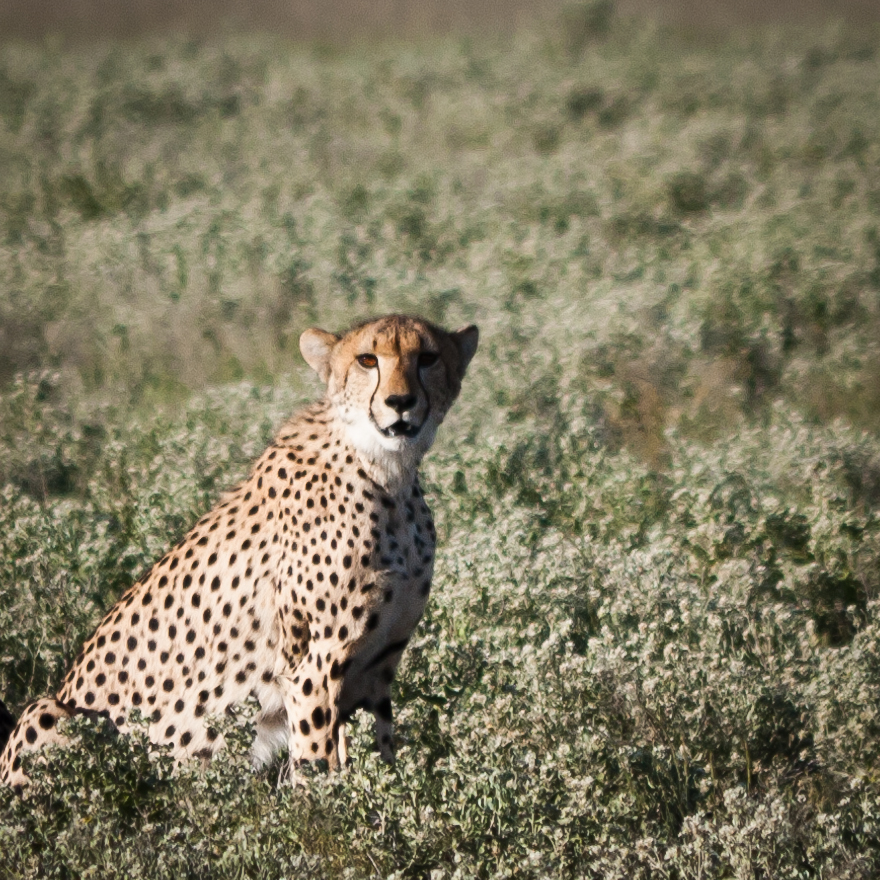 Visual Differences Between Cheetah And Leopard