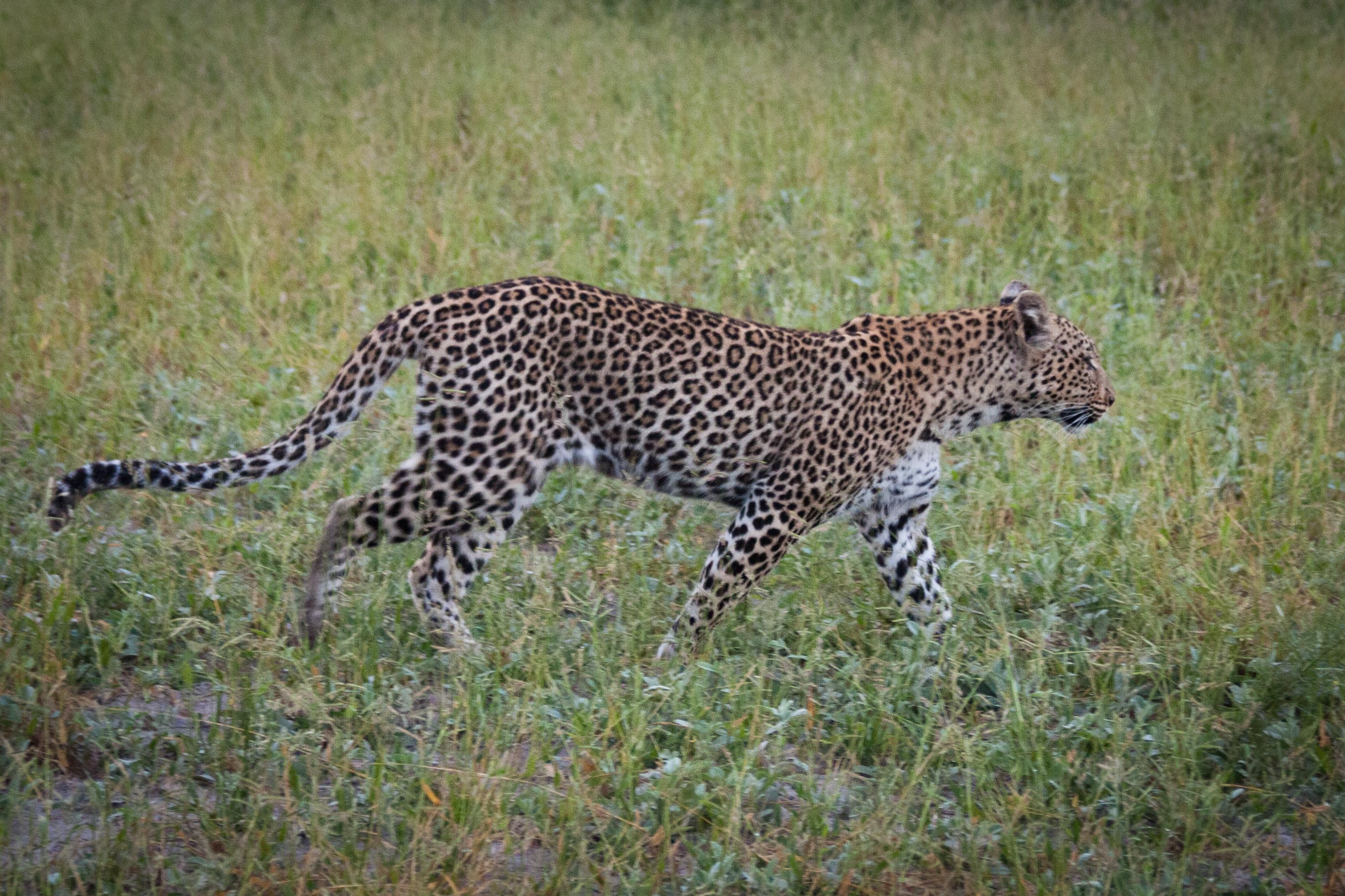 visual differences between cheetah and leopard | lillie marlén